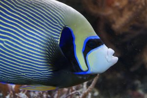 emperor-angelfish-793377_640